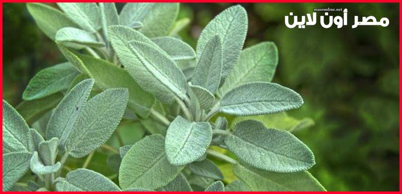 صورة فوائد اعشاب المرمرية